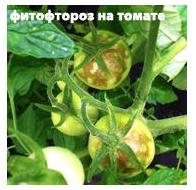 Фитофтороз на томате
