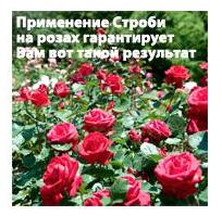 Применение Строби на розах гарантирует Вам вот такой результат